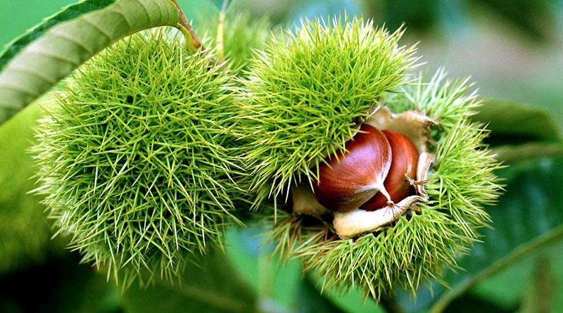 Hạt Dẻ Rừng Lào Cai 3